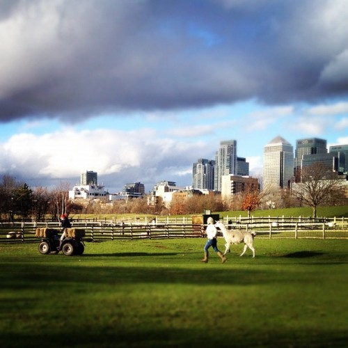 instahipsta:  Taking a llama for a run #mudchutefarm #isleofdogs #eastlondon  (Taken with Instagram at Mudchute City Farm)