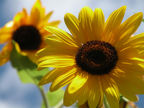 I love sunflowers! *credits to original photographer*