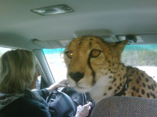 alexmogle:  Cheetah from Cincinnati Zoo riding shot gun. story  They're GRRRR-EAT!