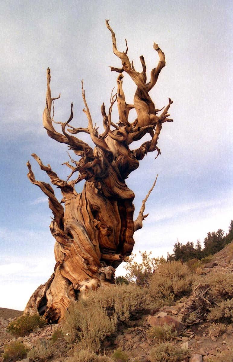 Oldest living tree, the Methuselah Tree