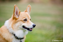 Abby the Pembroke Welsh Corgi