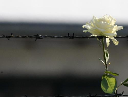 reuters:  A white rose is placed on barbed wire at the museum of the former Nazi death camp of Auschwitz Birkenau marking the 67th anniversary of the liberation of the camp by Soviet troops and to remember the victims of the Holocaust, in Auschwitz Birkenau January 27, 2012. [REUTERS/Kacper Pempel]