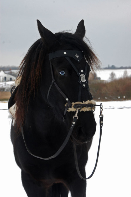 horsesftw:  Frost, with his new medieval warhorse browband I made for him.