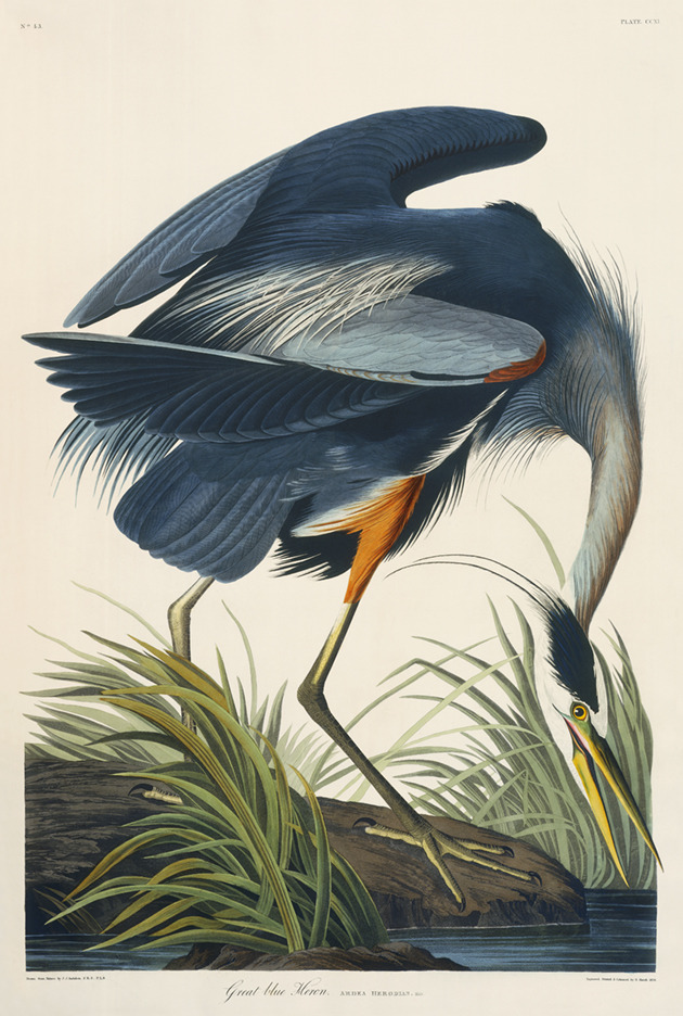 cvilletochucktown:  The Great Blue Heron