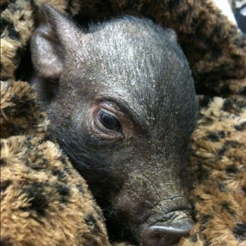 Linus the pig  (Taken with Instagram at Beval Saddlery)