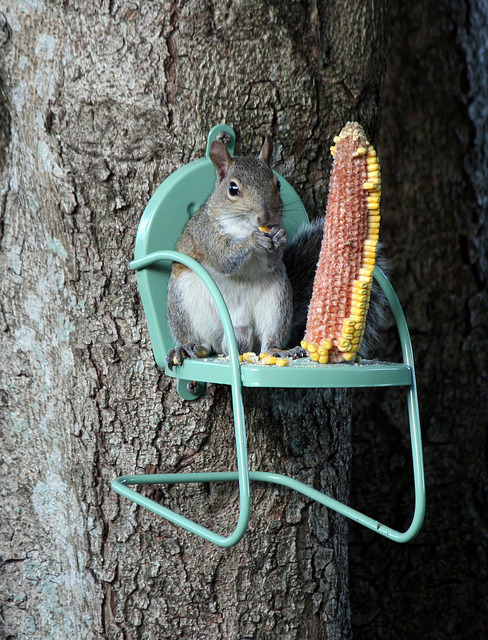 incenseandcookies:  wallacegardens:  Domesticated squirrel.   Love his little midcentury lawn chair.