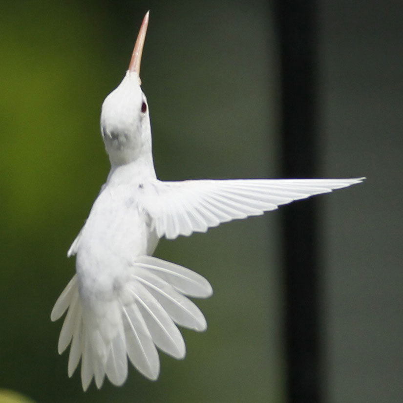 welitonrodrigues:  The albino hummingbird