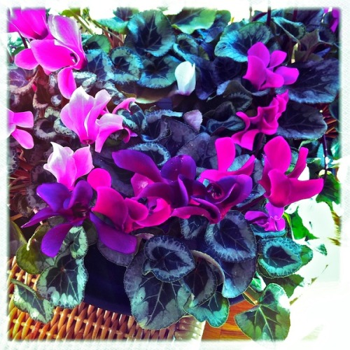 I love Cyclamen season: rich, velvet petals in jewel tones and stunning bi-color leaves. Bloom season: late January through mid-February, and then expect the plant to go dormant.