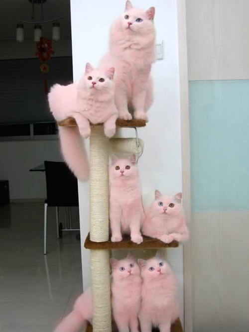 Pink cats! Meow, i dont wanna be pink