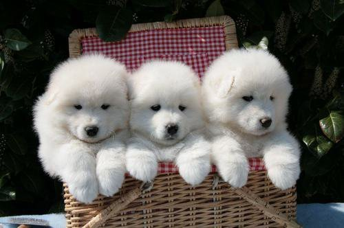 I'm almost positive that these are Samoyeds.  At least that's what my puppies looked like.  They're great to have for a pet, just needs exercise. llbwwb:  Puppy Picnic,Todays Cuteness :) via:cutestuff. For the Dog Lovers :)