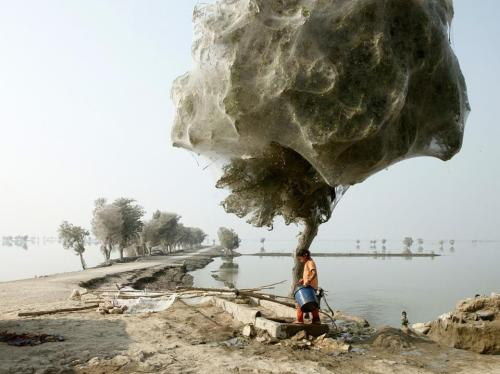 An unexpected side effect of the 2010 flooding  in parts of Sindh, Pakistan, was that millions of spiders climbed up  into the trees to escape the rising flood waters; because of the scale  of the flooding and the fact that the water took so long to recede, many  trees became cocooned in spiderwebs. People in the area had never seen  this phenomenon before. (Courtesy: National Geographic)  Sick.