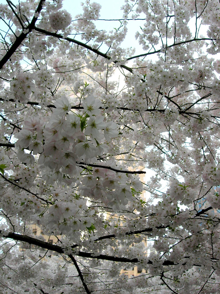The sky remains hidden in the backdrop of all the blossoms.  This is why I love spring.  Source: Quiet - Nymph