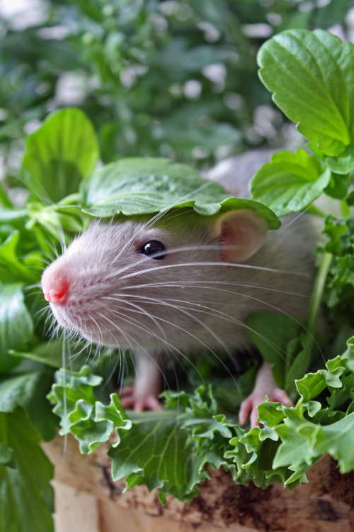 "Top Chef: Mice Make Excellent Salad Fixin's Eccentric New York chef Bobby Masters has come under fire after revealing his new dish, the ""Mouse Salad,"" in which he adds live mice to a Caesar. ""They are garnish, and not meant to be eaten,"" Masters told the press after animal rights activists staged a protest outside his midtown restaurant. Skeptics are not convinced, and have called for a boycott of Masters' establishments, which do business in seven countries. Via The Animal Blog."
