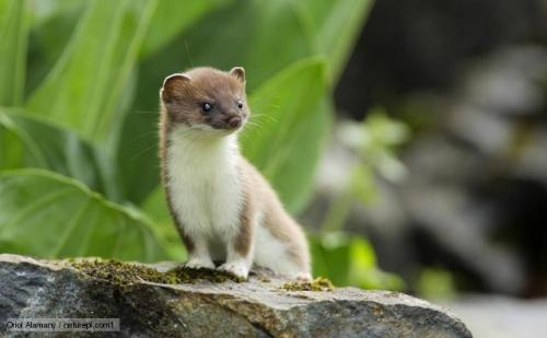 lnoobl:  This is a Stoat.It is god damn adorable. I want one.