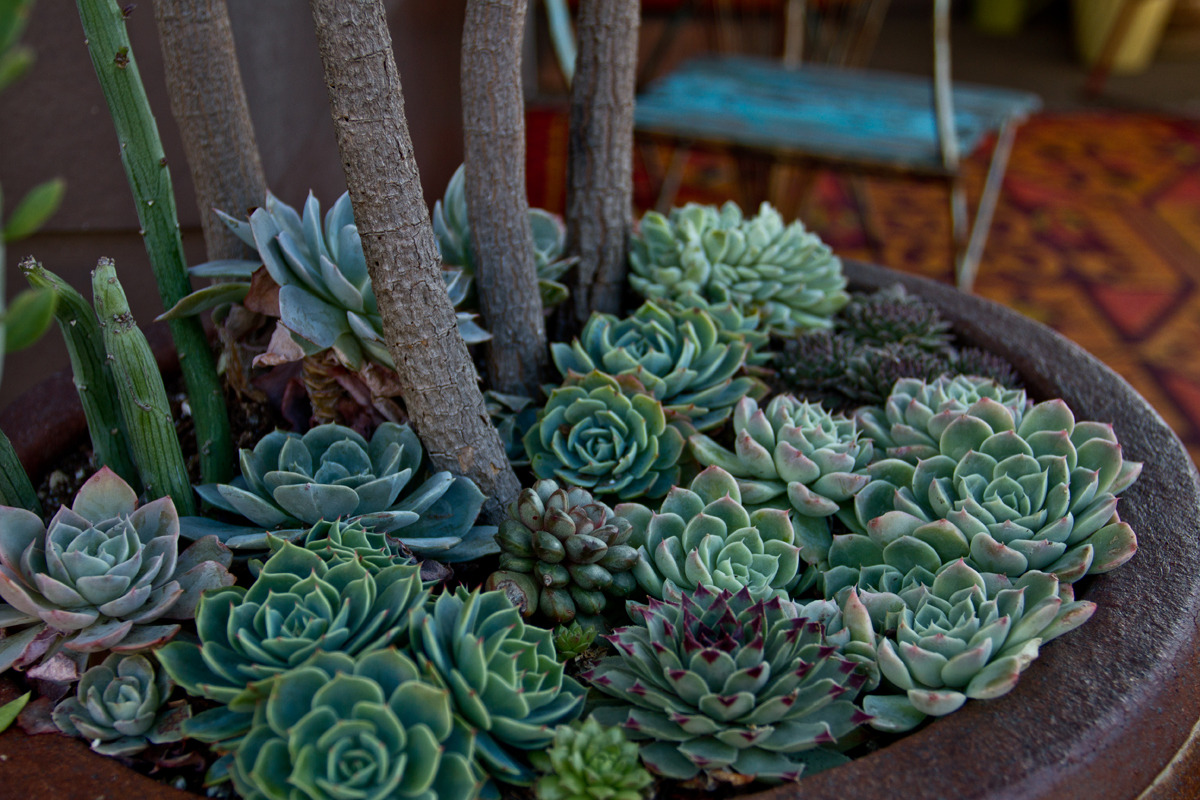 Lovely succulents at Annette Gutierrez's house.