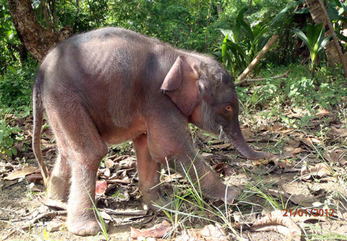 A month-old pygmy elephant calf – an endangered species – on Malaysian Borneo. Numbers of elephants in south-east Asia is the cause of some concern, with the Sumatran elephant now critically endangered, and Thai elephants being hunted for their meatPhotograph: Malaysia Wildlife Authorities/AFP/Getty Images