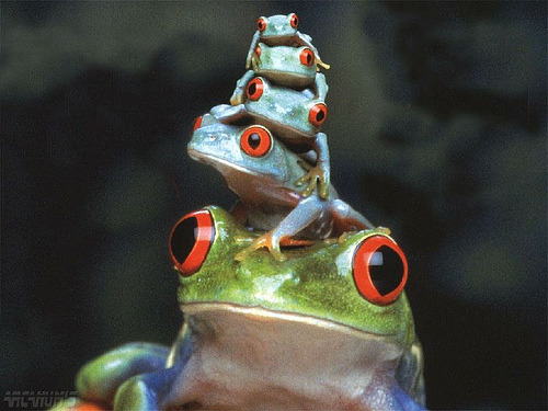 animalgazing:  Everyone wants colorful, poisonous, stack-able frogs. Photographer unknown
