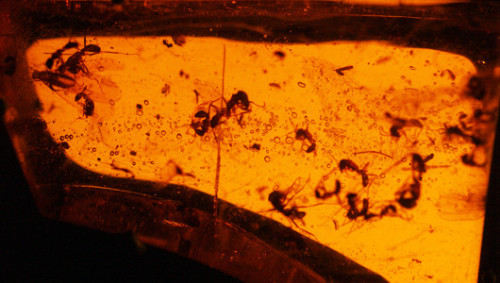 A 50 million year-old amber deposit discovered in India holds a cornucopia of perfectly preserved ancient insects, including ants with soft tissue still intact.  Jurassic Park, anyone?