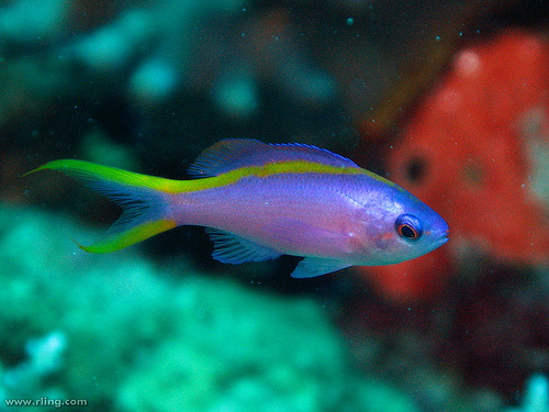 Purple Anthias | Pseudanthias tuka (by richard ling)
