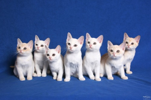 friendly-cat:  burmilla kittens!!