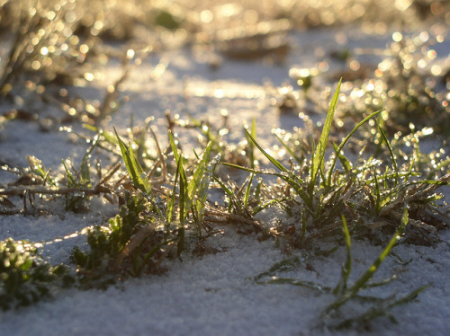 Grassy Snow on Flickr.