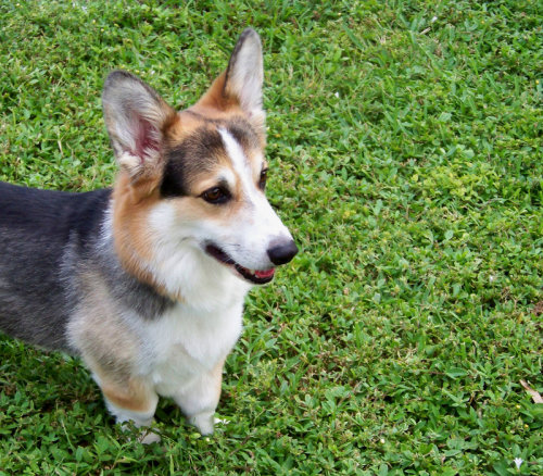 Backyard Corgi 3 by ~Ita-kunPWNS