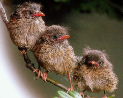baby robins by coral.hen4800 on Flickr.