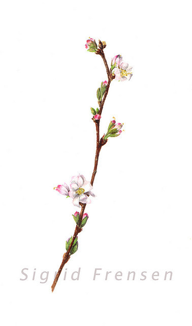 Prunus subhirtella 'Autumnalis' on Flickr. Watercolour by Sigrid Frensen