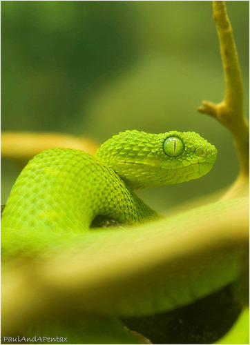 funkysafari:  Bush Viper by Paul Pagano