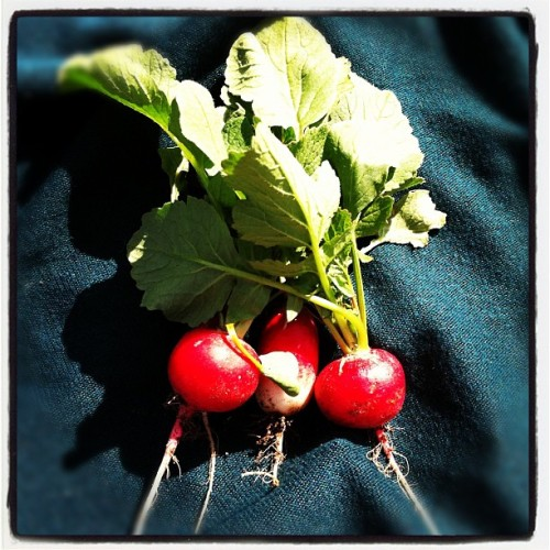 Snacking on radishes I just pulled from the ground. Awsm. (Taken with Instagram at John Muir High)