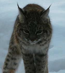 giantsofstone:  bobcat by mikewiz on Flickr.