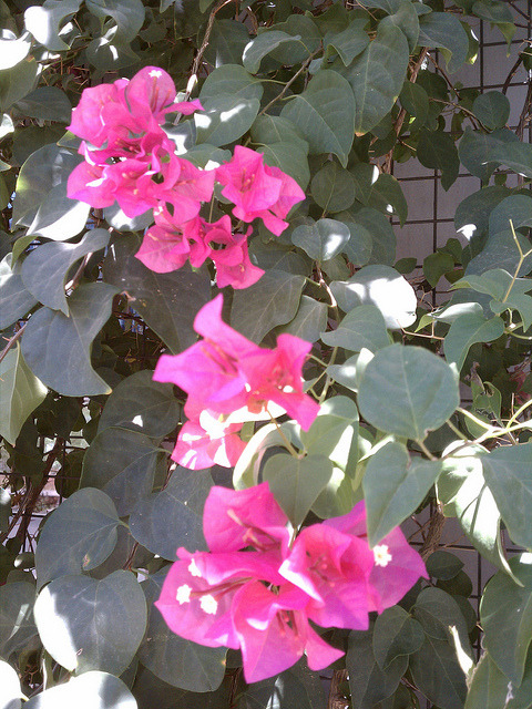 June 22, 2011, bright flowers in 113 degrees on Flickr.pretty pink bougainvillea.