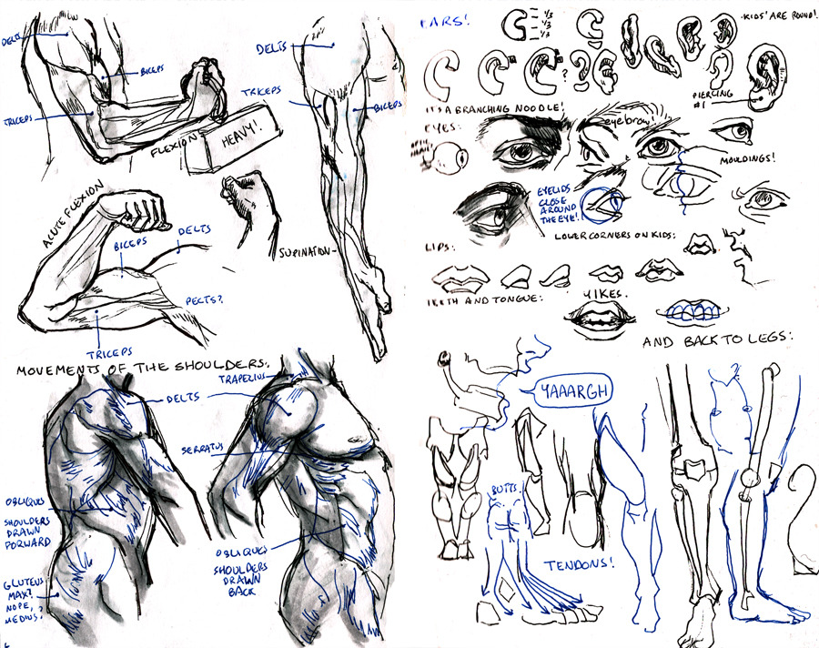 careydraws:  Left page is more notes from artistic anatomy; right page is Peck's Atlas of Human Anatomy for the Artist. Good stuff. Which I have butchered in my note-taking, so you should check out the originals. Fleisher's library is excellent!