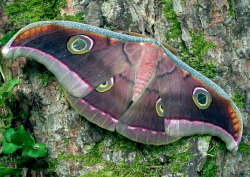 rhamphotheca:  Tussore Silk Moth (Antheraea mylitta), family Saturniidae, India (photo: Butterfly House | Flickr)