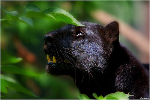 setadrift:  Jungle Cat by andrewwdavies on Flickr.