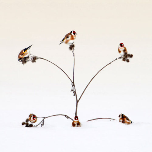 allcreatures:  Six goldfinch compete for the seeds on five branches. One goldfinch missed out on a meal. The unlucky bird was sixth on the scene with only five perches available on a thistle bush. Photographer Peter Svoboda captured the scene in the Ukraine. Picture: Peter Svoboda/Rex Features