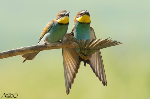 fairy-wren:  european bee-eaters photo by antino cervigni