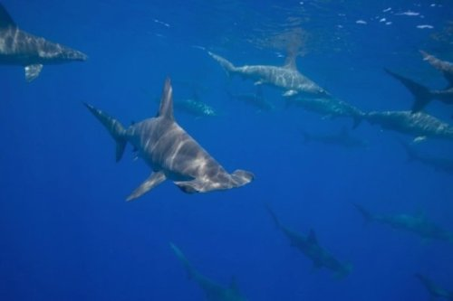 Hammerhead Sharks: Big Island, Hawaii