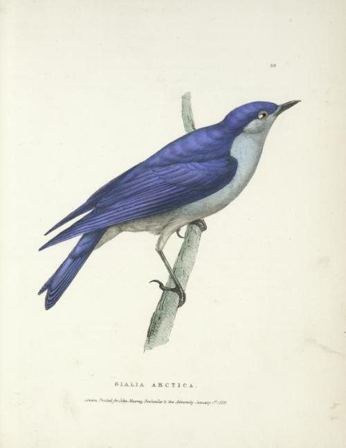Mountain Bluebird - Sialia arctica now called Sialia currucoides From: 'Fauna boreali-americana, or, The zoology of the northern parts of British America'