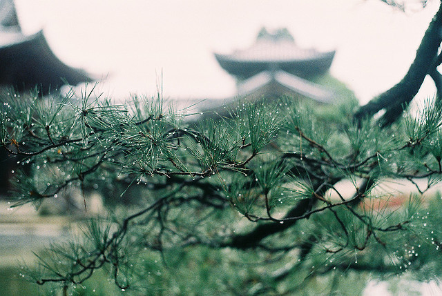 Dewdrops in the Temple Pines by Baka John on Flickr.