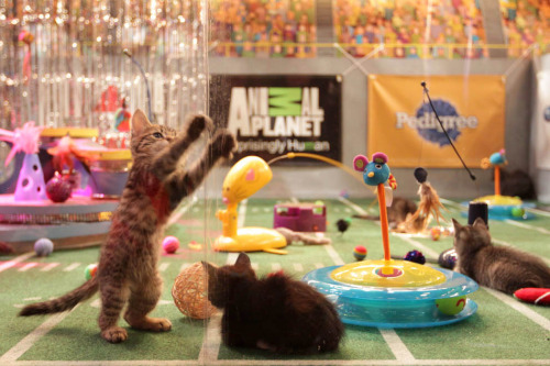 buzzfeed:  The Kitten Halftime Show at this year's Puppy Bowl looks straight-up bananas, and we got to go behind the scenes. Check out a sneak peek here.  NOW PLS