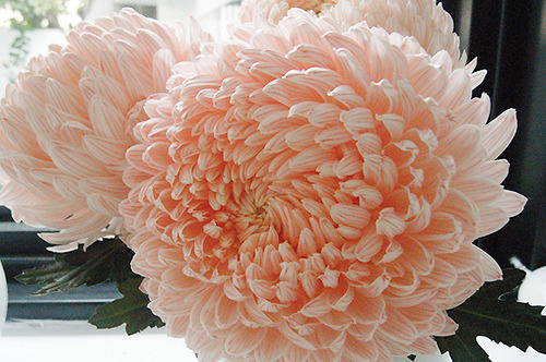 Chrysanthemum- Cheerfulness, optimism, rest, truth, long life, joy, and you are a wonderful friend. It's considered to be a noble flower in Asian culture, and are also used as an object of meditation as suggested by Confucius. It's also the birth flower for November.