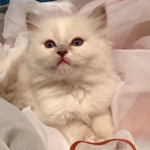 Lilli 🐱❤ #ragdoll #kitten #cat #white #beautiful #pretty #precious #cute #adorable #model #amazing #ours  (Taken with instagram)