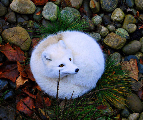 Arctic fox in her new winter coat…. (by vermillion$baby)
