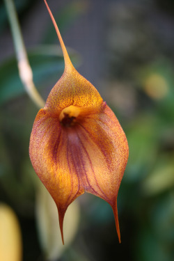 Masdevallia 'Proud Prince' on flickr