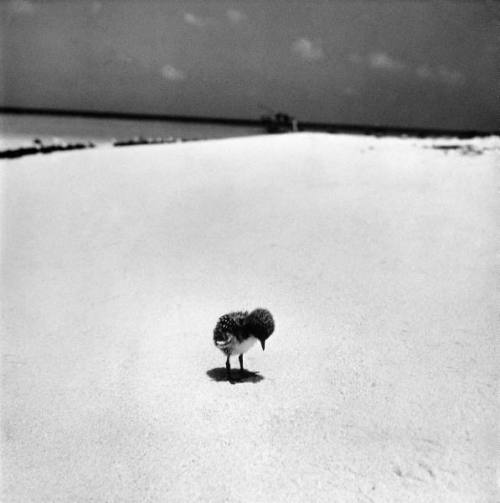 Fritz Goro, Sooty tern chick standing forlornly on the beach as it waits for its parents to return fr. their daily hunting, on the Great Barrier Reef, 1950