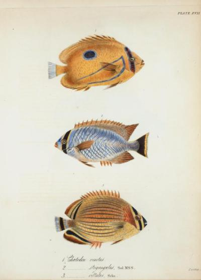 1. Chætodon vinctus2. Chætodon strigangulus3. Chætodon vittatus —The zoology of Captain Beechey's voyage to the Pacific and Behring's Straits; performed in His Majesty's ship Blossom (Illustrated with upwards of fifty finely coloured plates by G. B. Sowerby. Pub. under the authority of the lords commissioners of the Admiralty…1825-1828)