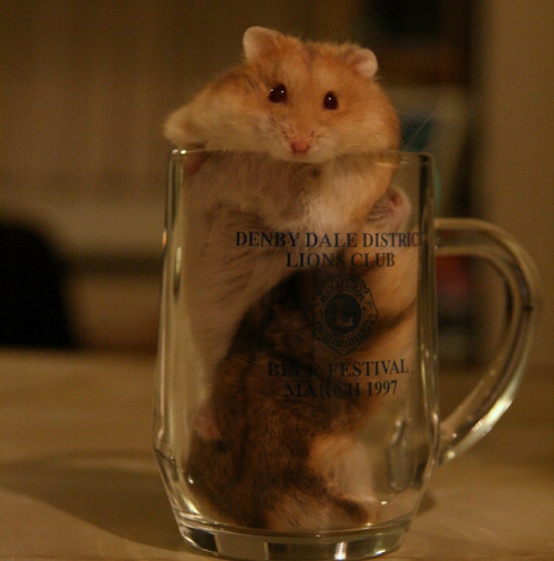 "thefluffingtonpost:  UK Pub Serves Hamster Pints Instead of Beer In an effort to curb drunk driving and other alcohol abuse, a pub in the Crystal Palace area of London has stopped serving beer, filling its mugs instead with adorable hamsters. ""Sure, it's bad for business,"" says Owen Williamson, owner of The Chicken Scratch bar. ""But if we save even one life, it'll be worth it."" Via Dan Derret."