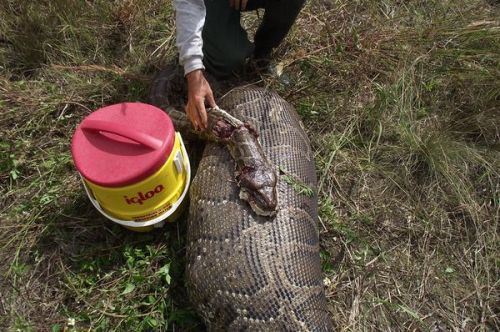 "taxonomynow:  Pythons Eating Through Everglades Mammals at ""Astonishing"" Rate? Christine Dell'Amore National Geographic News Published January 30, 2012 From rabbits to deer to even bobcats, invasive Burmese pythons appear to be eating through the Everglades' supply of mammals, new research shows. Since the giant constrictors took hold in Florida in 2000, many previously common mammals have plummeted in number—and some, such as cottontail rabbits, may be totally gone from some areas.  Scientists already knew from dissecting the 20-foot (6-meter) snakes that they prey on a wide range of species within Everglades National Park. (See a picture of a Burmese python that exploded eating an American alligator in the Everglades.) But this is ""the first study to show that pythons are having impacts on prey populations—and unfortunately those impacts appear to be pretty dramatic,"" said study leader Michael Dorcas, a herpetologist at Davidson College in North Carolina. ""We started the study after we realized, Man, we're not seeing a lot of these animals around anymore,"" Dorcas said. But ""when we did the calculations, we were pretty astonished."" (See ""Alien Giant Snakes Threaten to Invade Up to a Third of U.S."") Read More"