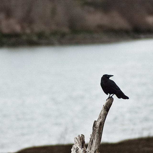 A Crow Left of the Murder by Wayward ∩ Wanderer on Flickr.